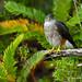 Peuquito (Accipiter chilensis) by maradelaluzvial
