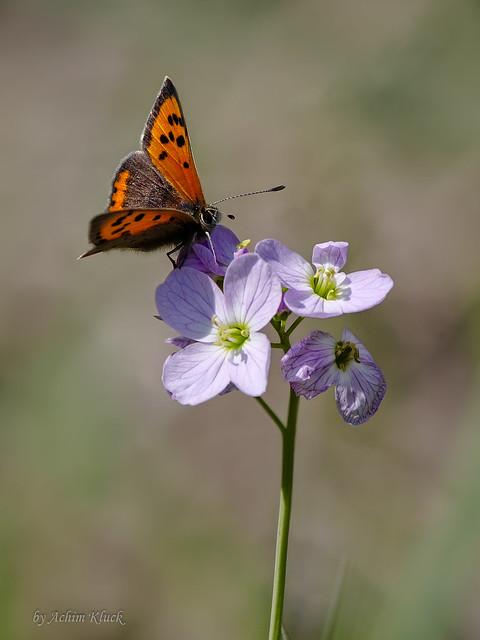 Auch die Kleinen Feuerfalter (Lycaena phlaeas) fliegen schon :-)