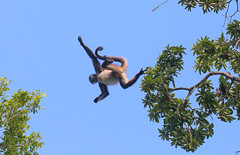 Leaping Spider Monkey
