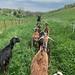 Leading Goats