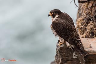 Falcão-peregrino | Peregrine Falcon | Halcón Peregrino | Faucon pèlerin | Pellegrino | Falco peregrinus