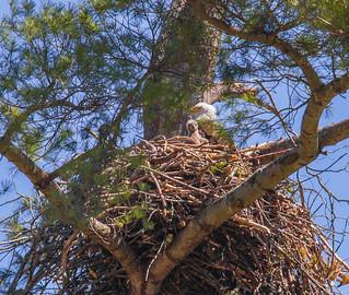 Nesting Eaglet