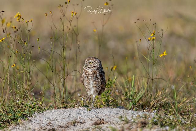 Burrowing Owl - Athene cunicularia | 2019 - 4