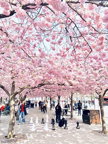 cherry blossom kungsträdgården, stockholm (20 years in bloom), sweden, april 24, 2019 🌸💖🌸