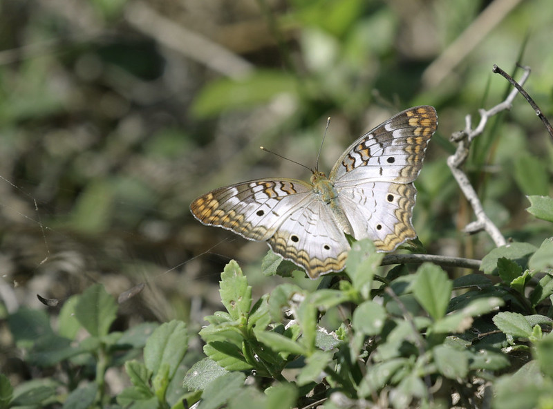Butterfly Ascanio_Cub2 199A2262