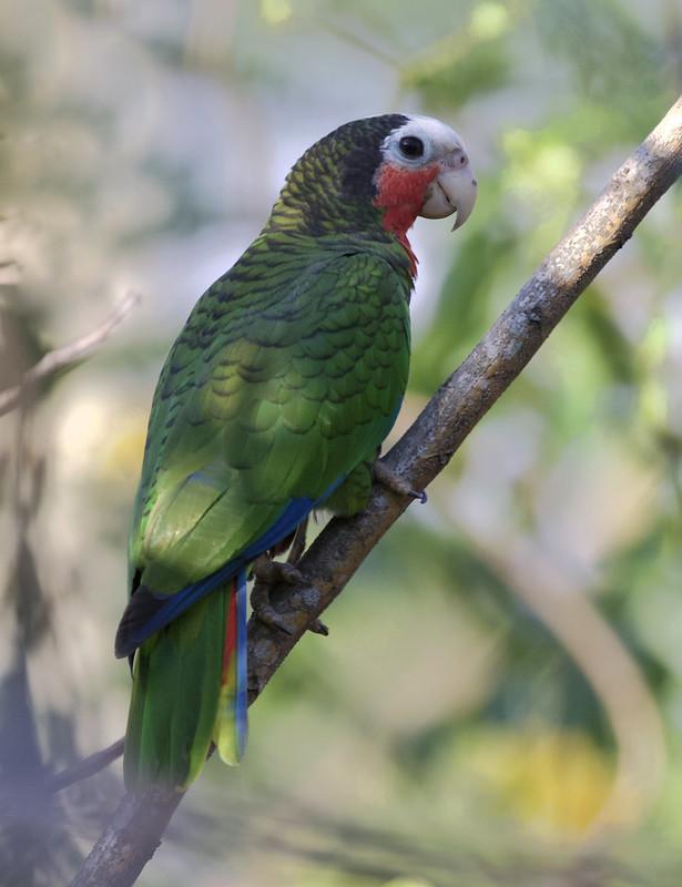Cuban PArrot, Amazona leucocephala Ascanio_Cub2 199A4080