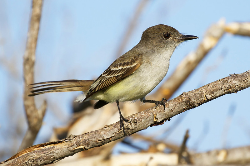 La Sagra's Flycatcher, Myiarchus sagrae Ascanio_Cuba 2 199A0899
