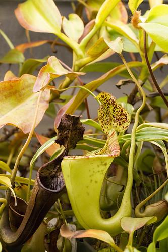 Nepenthes eymae x ephippiata
