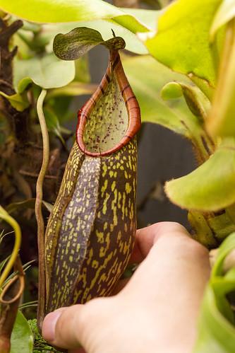 Nepenthes rigidifolia x spectabilis