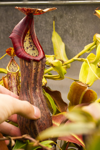 Nepenthes boschiana Sakumbang BE sg