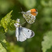Orange Tips courting by Tim Melling