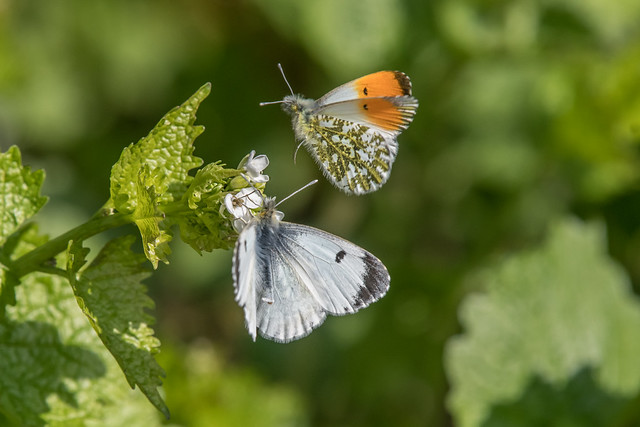 Orange Tips courting