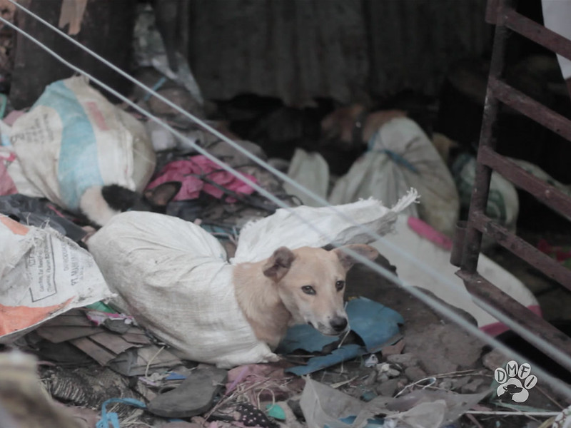 A dog is tied up in a sack awaiting slaughter