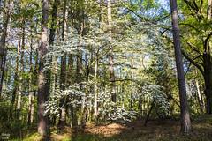 Dogwood at Log Cabin 042019 - 1