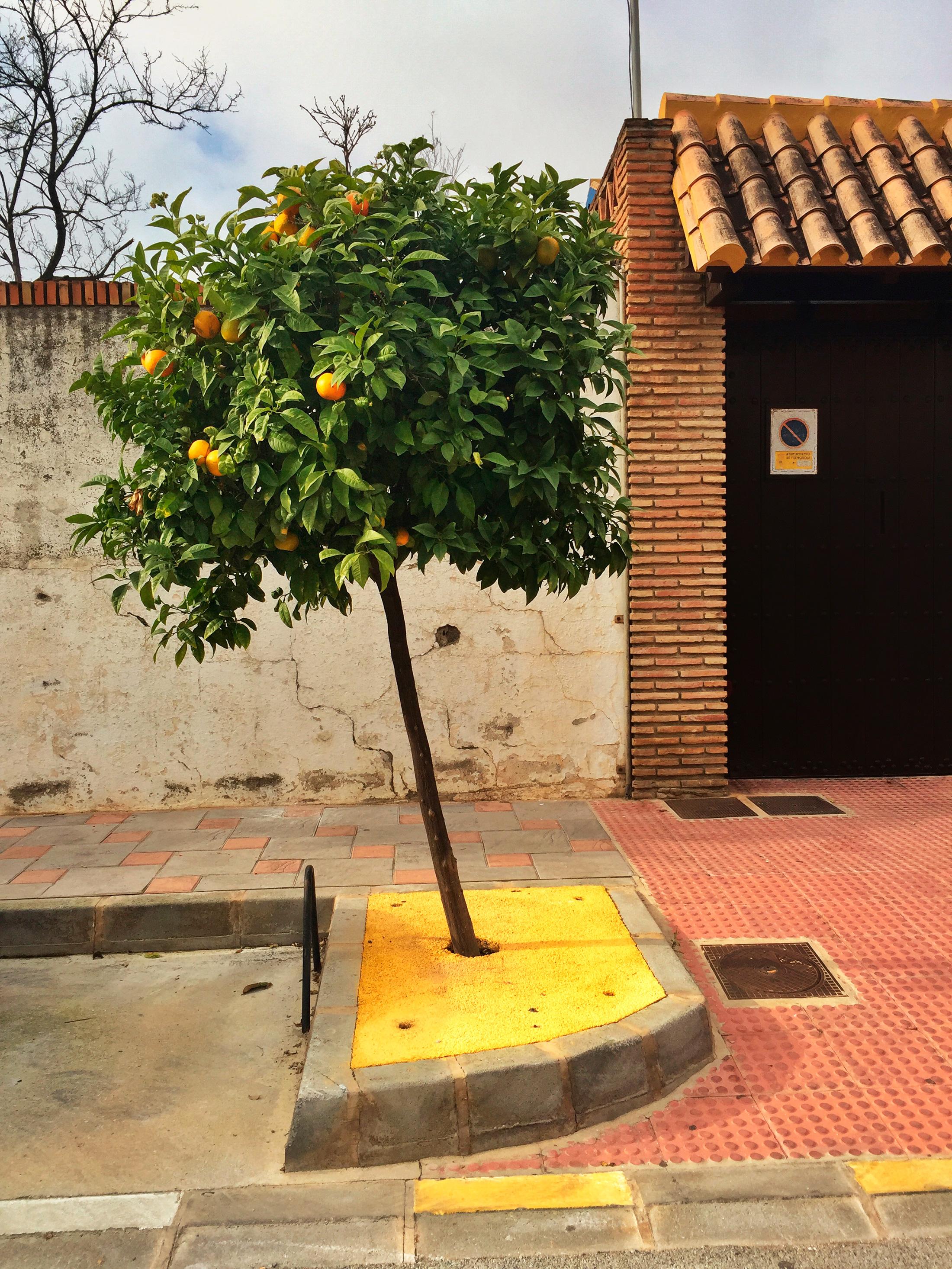Fuengirola_sitruunapuu
