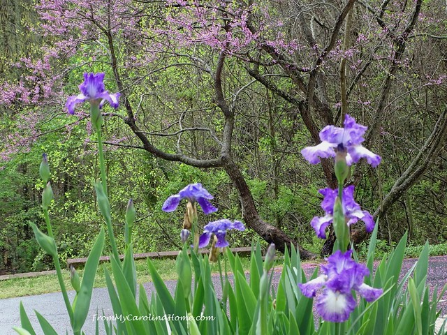 Iris Blooms at FromMyCarolinaHome.com