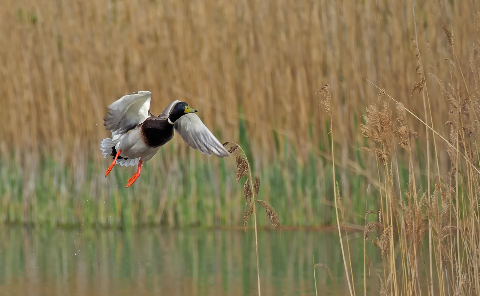 Mallard takes flight from reedbed