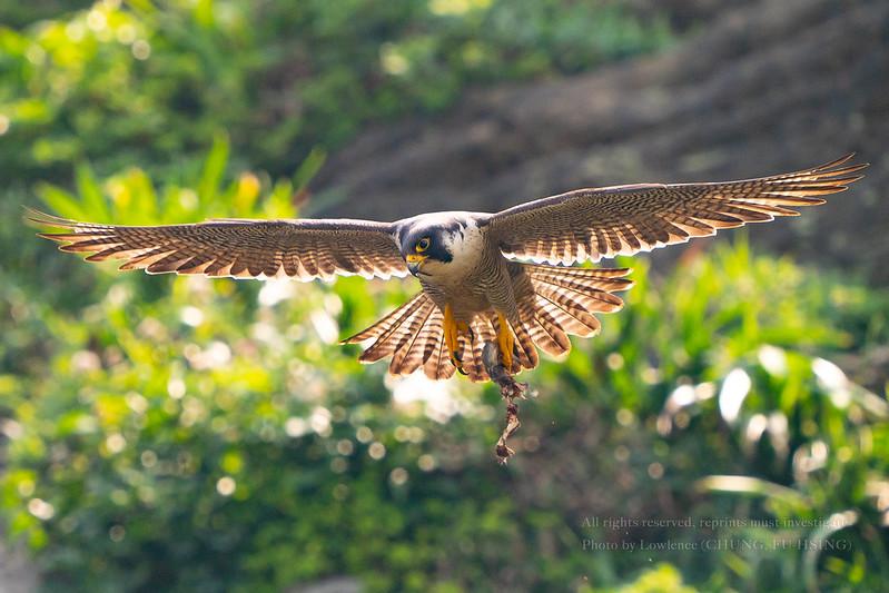 遊隼,(Falco peregrinus)隼科隼屬下面一個種猛禽品種,特色是俯衝時速非常的快,平均時速可以達到320公里…。在育食鶵鳥期間,會大量抓取獵物到他習慣的地方肢解食物,再帶回巢內餵食幼鳥,看似一臉無害萌萌躂,但他還是兇猛的猛禽(鷹)一種,看他腳爪下的戰「慄」品就知道了。
