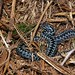 Blue Adder after sloughing!