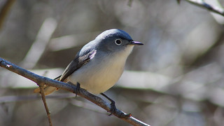 Blue-Grey Gnatcatcher | by CheepShot