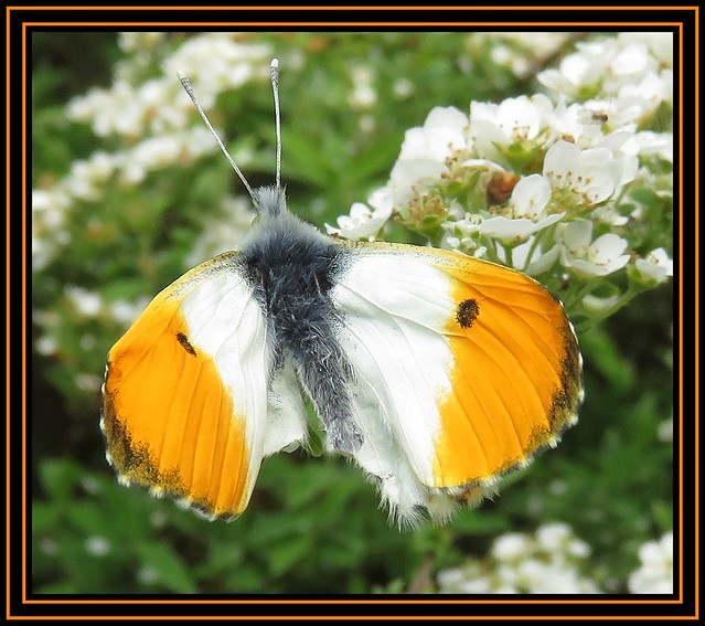 Orange Tip Butterfly 2. Bit Missing