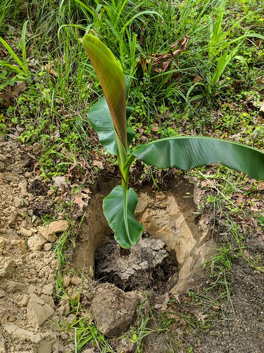 Musa itinerans var xishuanbannaensis planted 19 inches deep today!