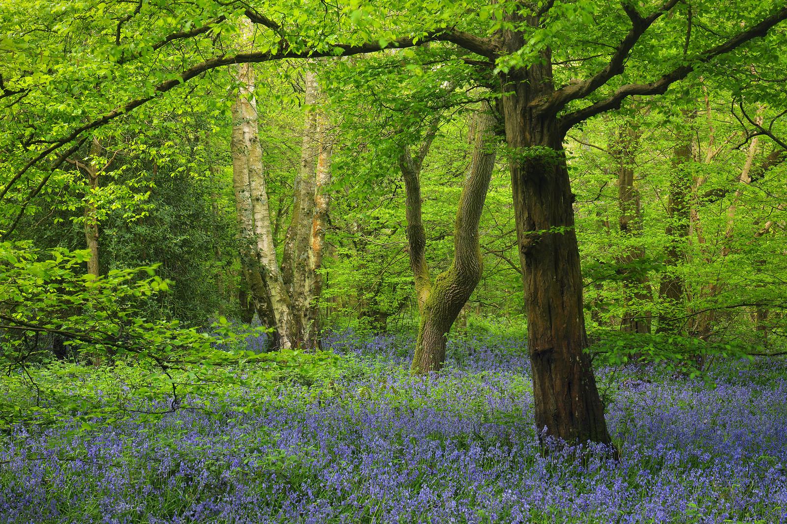 Abbots Wood Bluebells