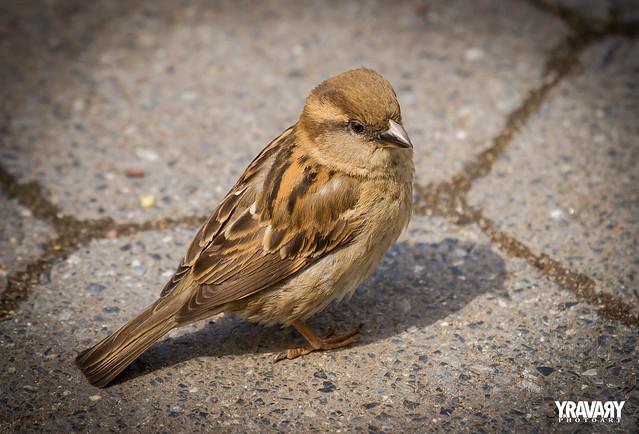 Moineau Domestique / House Sparrow  / Passer domesticus