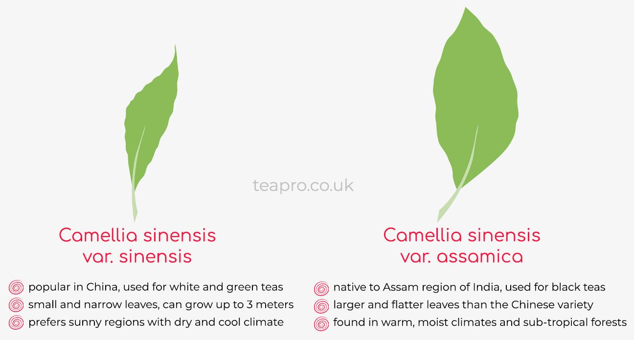 Teapro camellia sinensis-vs-assamica