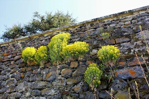 Aurinia saxatilis (= Alyssum saxatile) - aurinie des rochers, alysse corbeille d'or  47656587181_182e6d6463