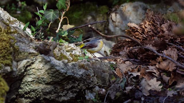 a grey wagtail (female) - Bergeronnette des ruisseaux (femelle)