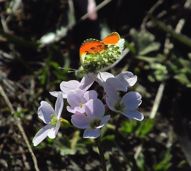 Orange-tip Butterfly (Anthocharis cardamines) - Male 2019-04-11. Parc Slip, Aberkenfig, South Wales