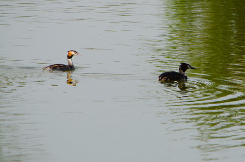Great created grebes, Pool Hall Fisheries