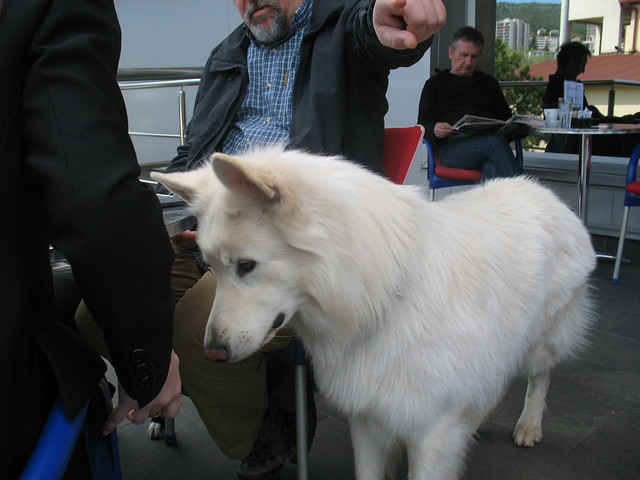 Swiss White Shepherd