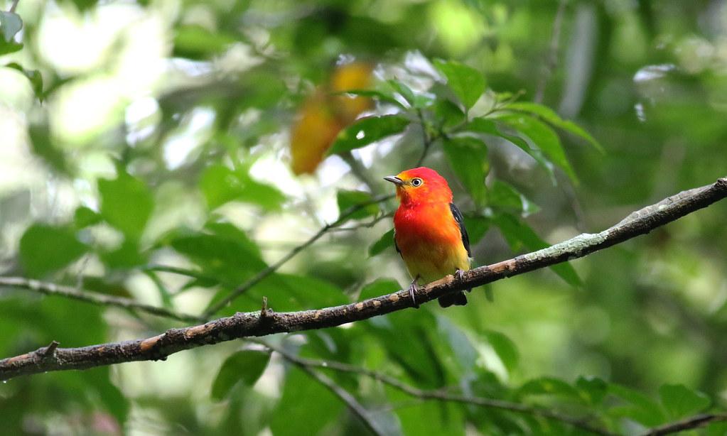 Band-tailed Manakin (Pipra fasciicauda)
