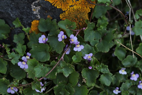 Cymbalaria muralis - linaire des murs, linaire cymbalaire - Page 2 47658615991_b8cfe1b421