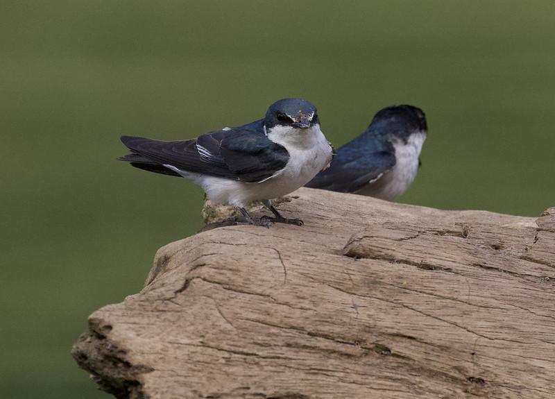Mangrove Swallow, Tachycineta albilinea Ascanio_Best Costa Rica 199A9466