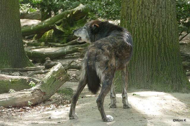 12-Wolf