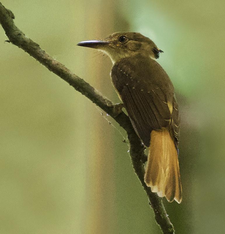 Royal Flycatcher, Onychorhynchus coronatus Ascanio_Best Costa Rica 199A8633