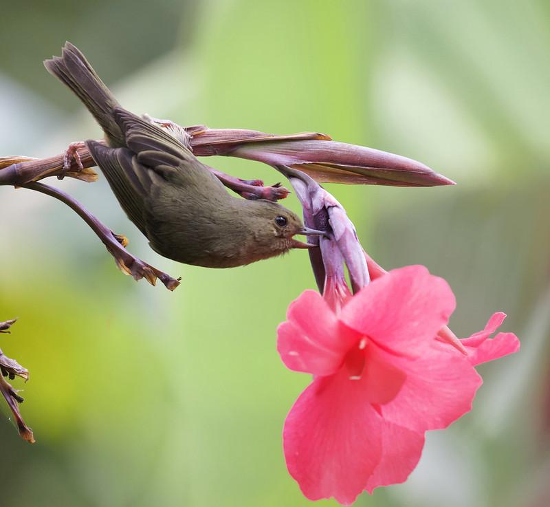 Slaty Flowerpiercer, Diglossa plumbea Ascanio_Best Costa Rica 199A9001