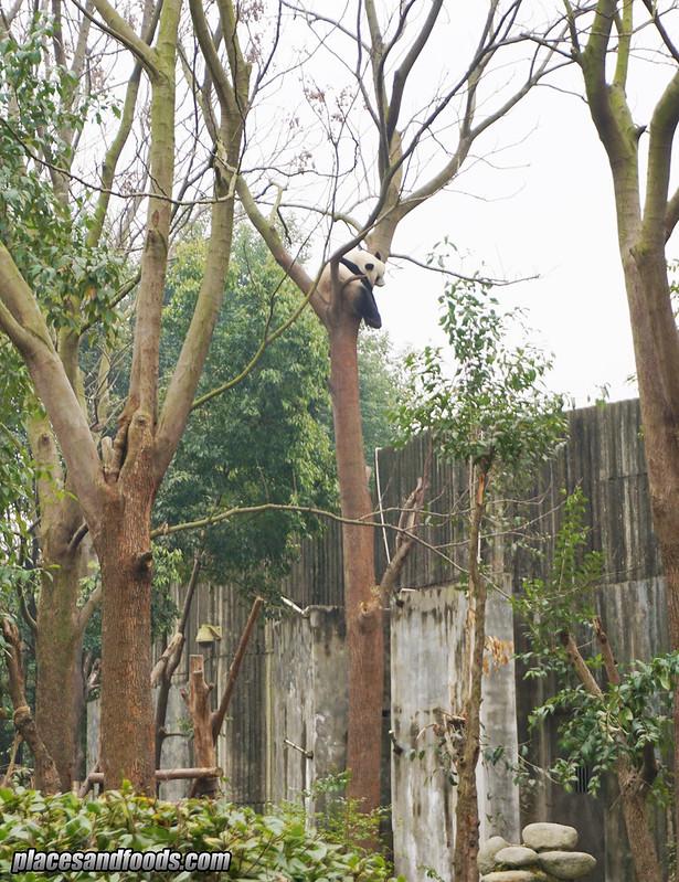 china sichuan chengdu drunk panda