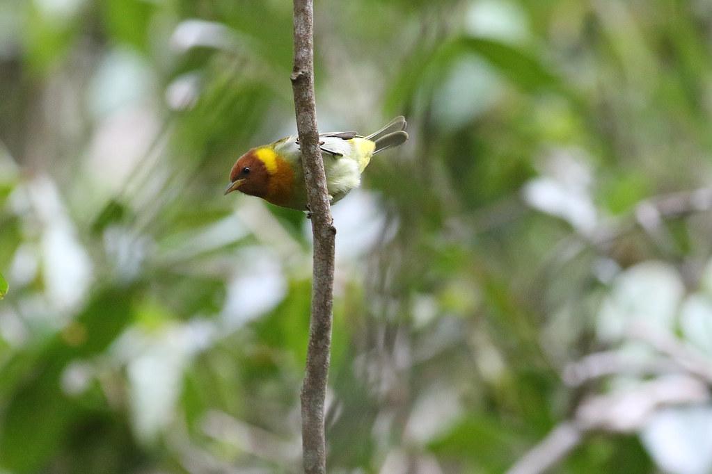 Rufous-headed Tanager (Hemithraupis ruficapilla)