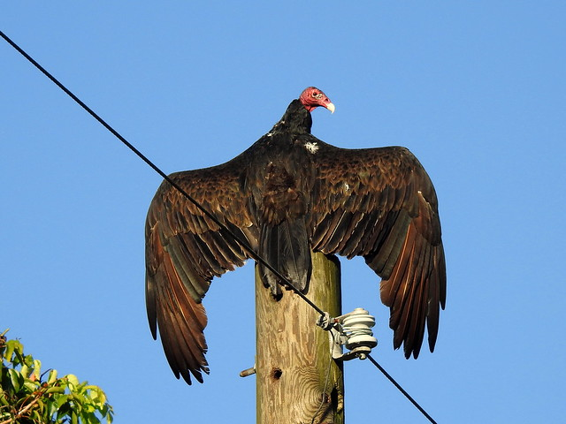 Turkey Vulture On Loop Road In Everglades - Florida - USA
