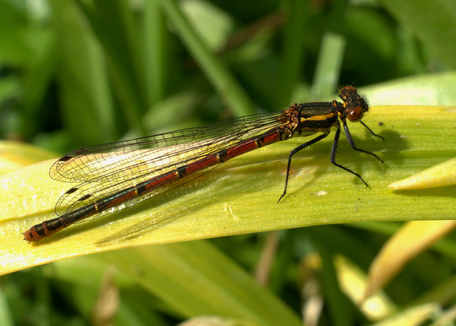 Large Red Damselfly
