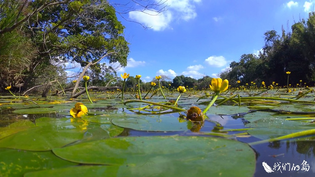 1001-3-8橢圓形的葉子貼在水面中,一片一片層層相疊的台灣萍蓬草,是台灣道地的睡蓮科植物。