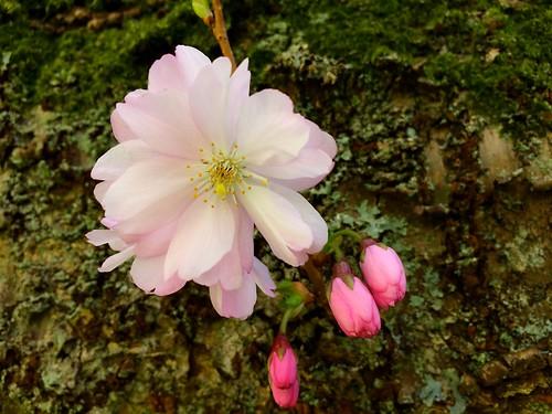 cherry blossoms 2019 (2)