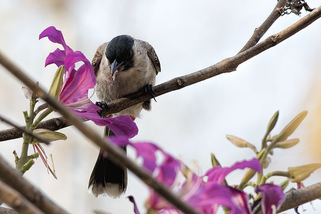 Thailand: Sooty-headed Bulbul & Flowers