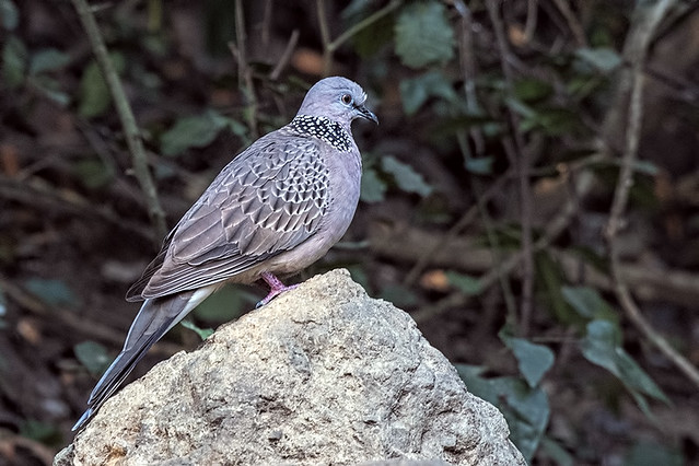 Thailand: Spotted Dove 9971