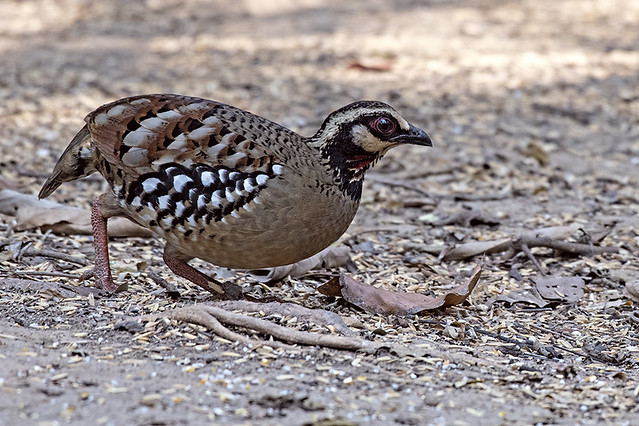 th.blind.barbacked partridge.0156
