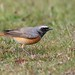 Common Redstart by Phil Gower Bird Photography